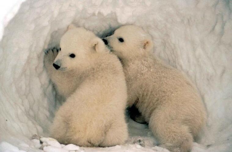 Dos cadells d'ós polar