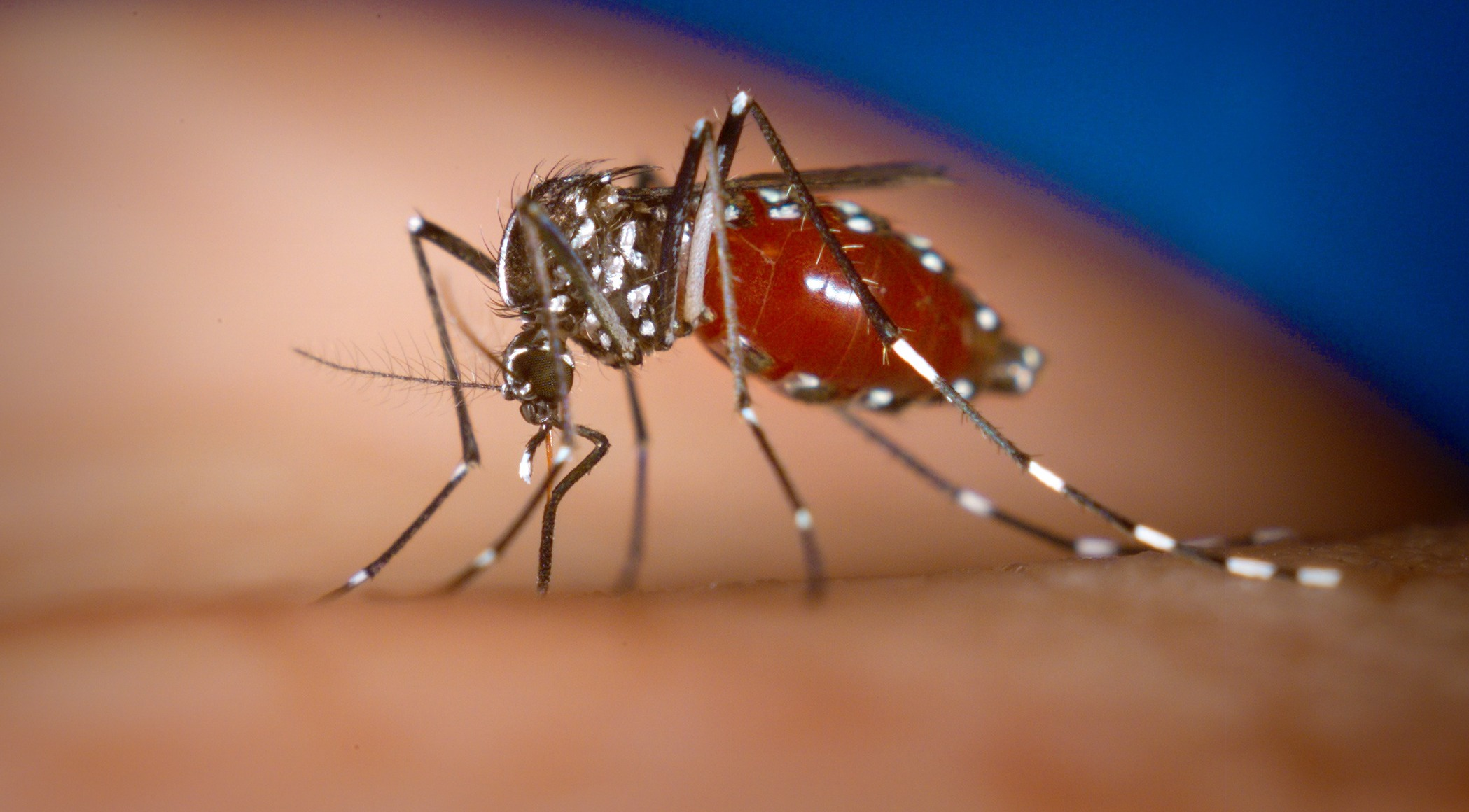 Exemplar de mosquit tigre sobre la pell d'una persona / Centers for Disease Control and Prevention (Wikimedia)  Photo by James Gathany, Centers for Disease Control and Prevention