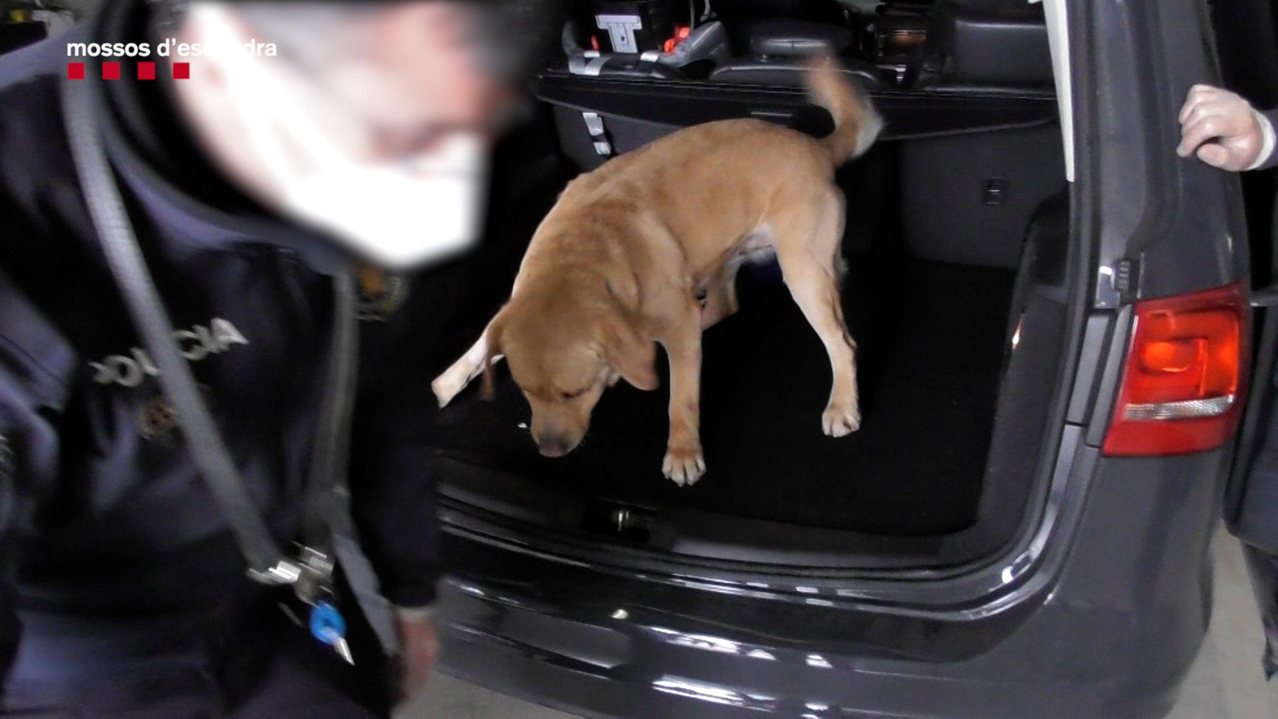 Pla general d'un gos de la policia catalana buscant a un maleter (ACN)