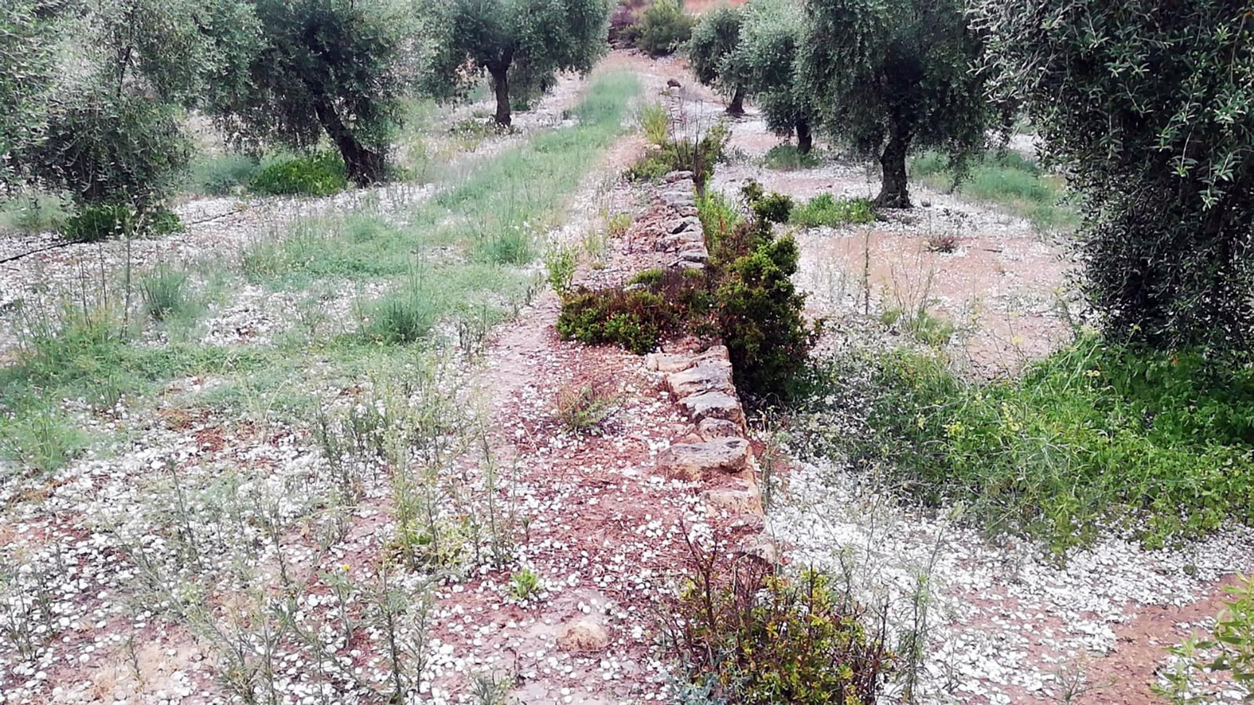 Una finca d'olivera de Bovera, a les Garrigues, amb la pedra caiguda al terra | ACN