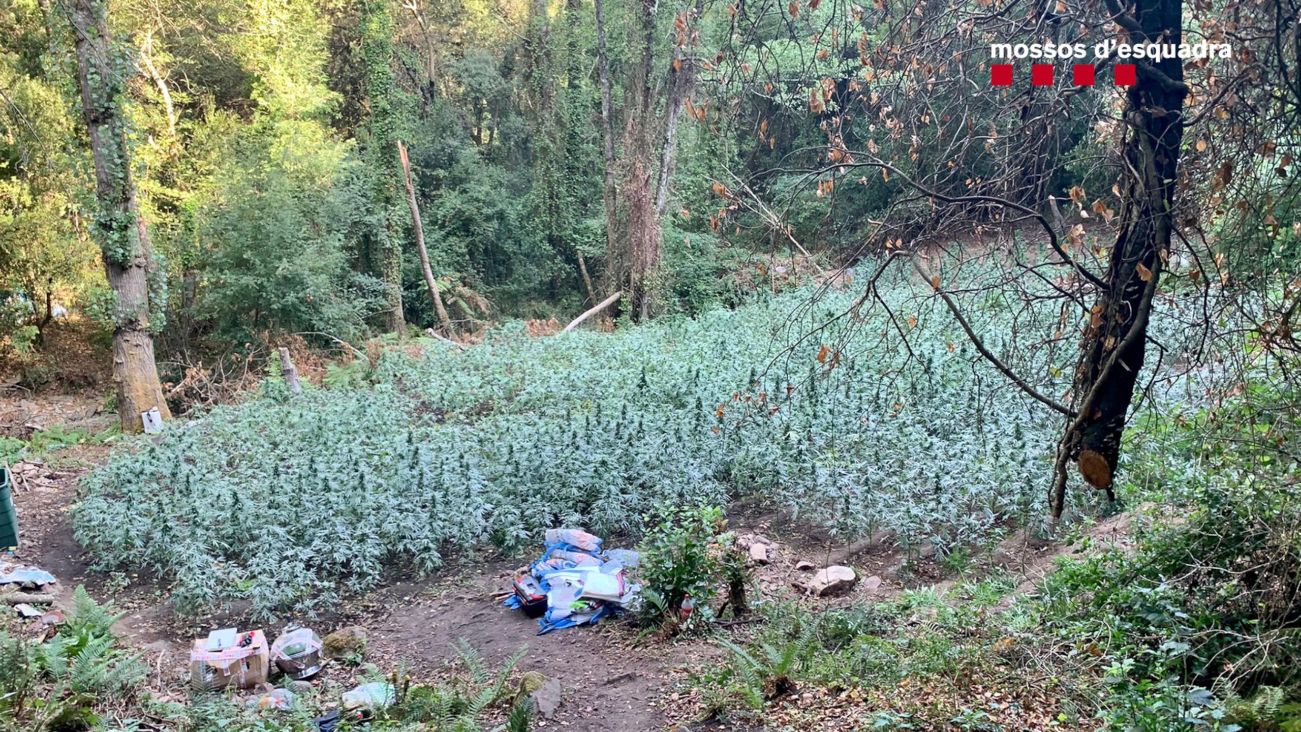 Una de les plantacions de marihuana desmantellades pels Mossos d'Esquadra al Parc Natural del Montnegre i el Corredor a Sant Celoni   ACN