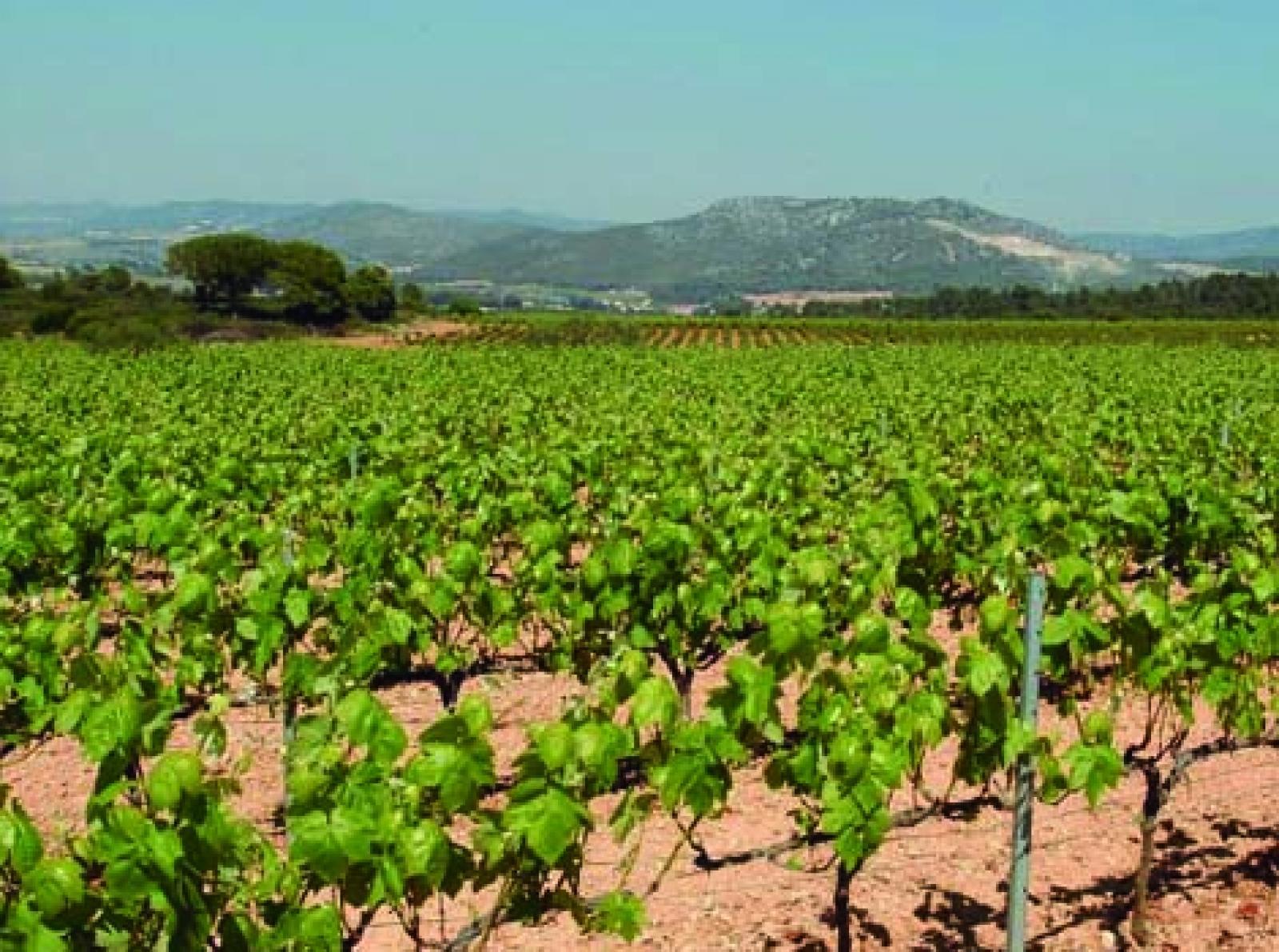 Paisatge de vinya | DARP