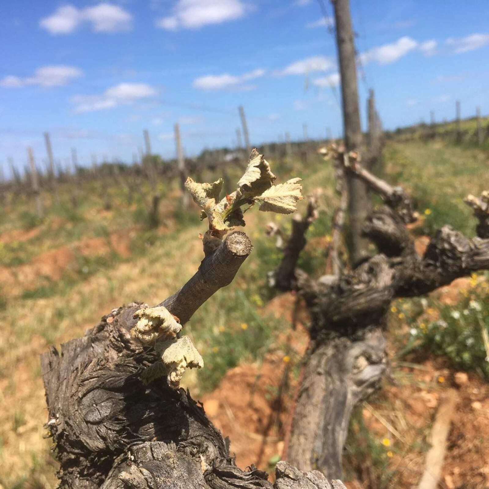 Les vinyes de Can Majoral s'han vist afectades per la gelada d'aquest abril
