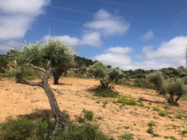 Els nous oliverars de Torre del Veguer | Torre del Veguer