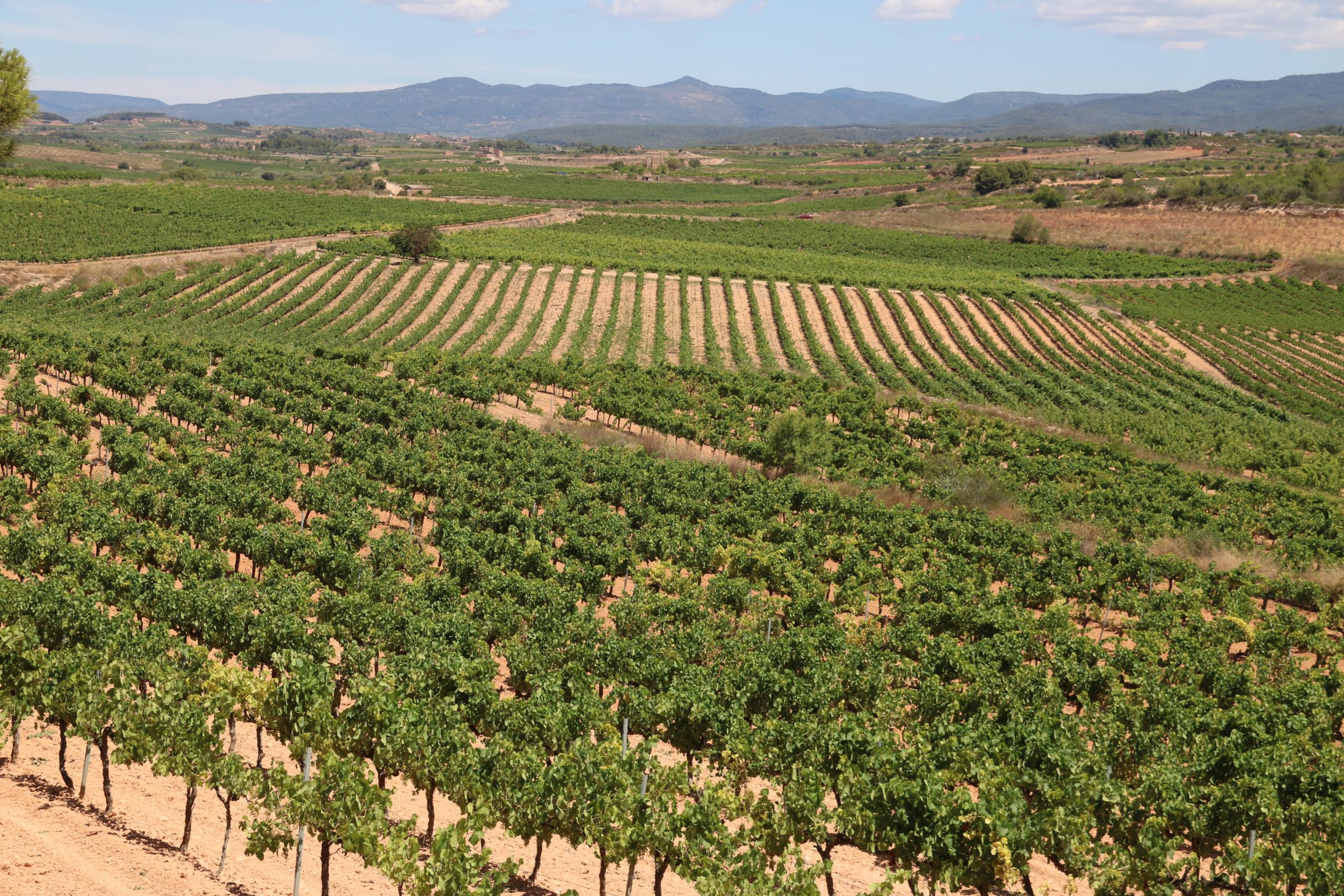 Vinyes de la DO Tarragona, a la comarca de l'Alt Camp | ACN