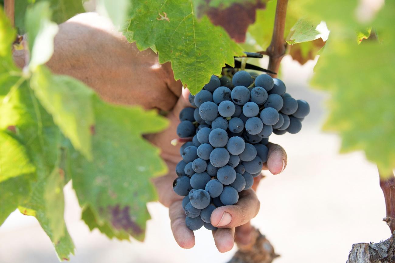 Raïm negre de les vinyes de la DO Montsant | cedida