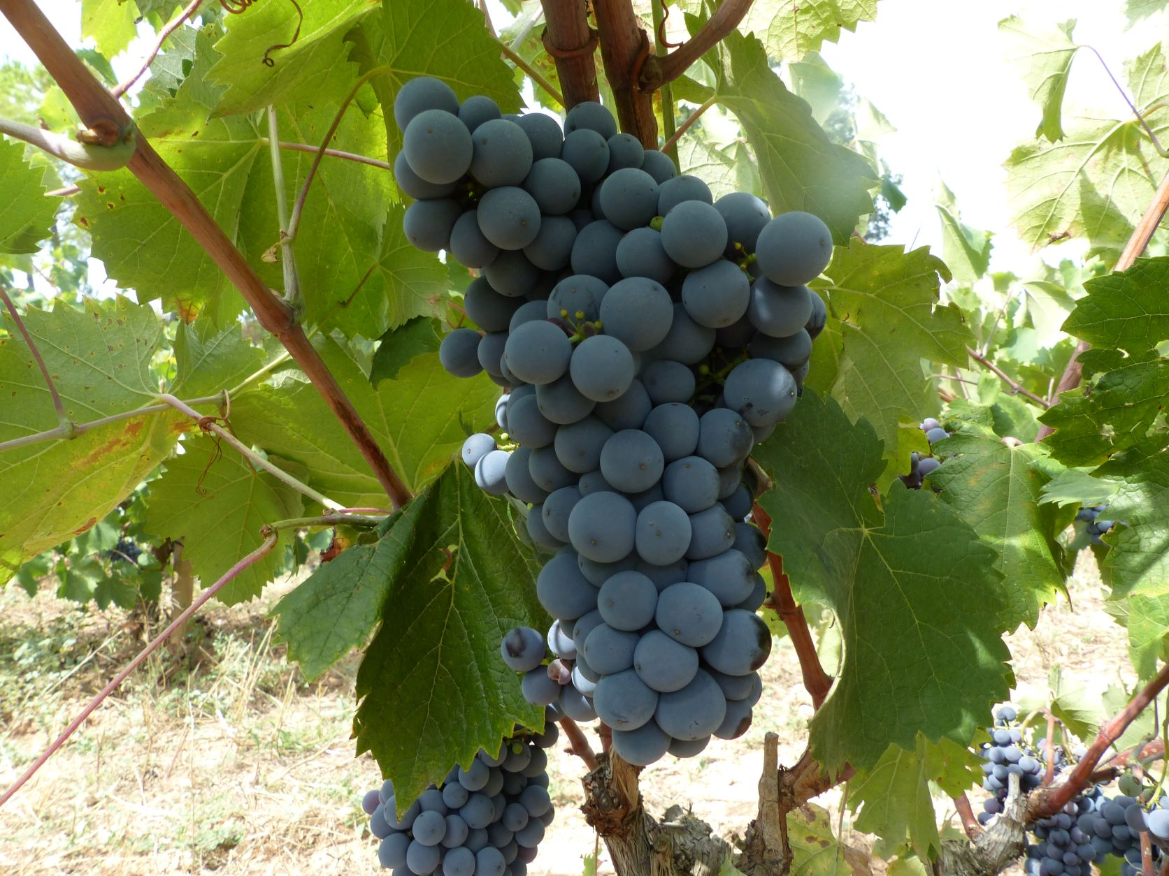 Cep de vinyes de monastrell  INCAVI