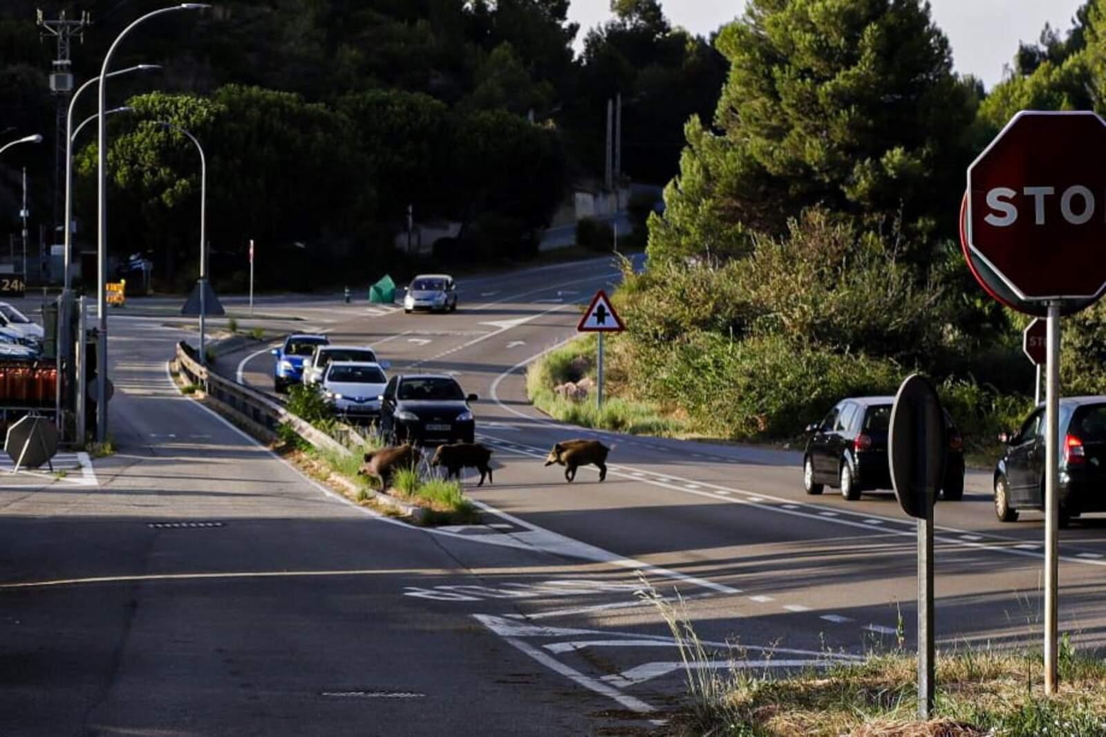 Els senglars han creuat la carretera de Martorell