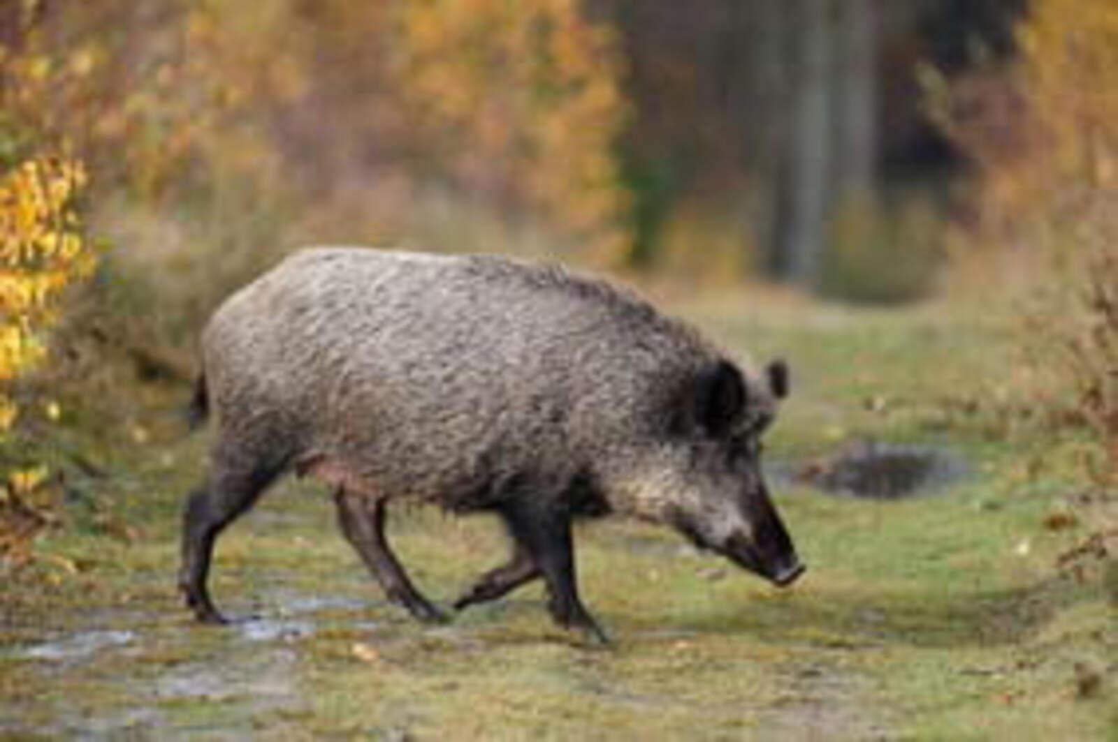 Exemplar de senglar o porc salvatge (Sus scrofa)