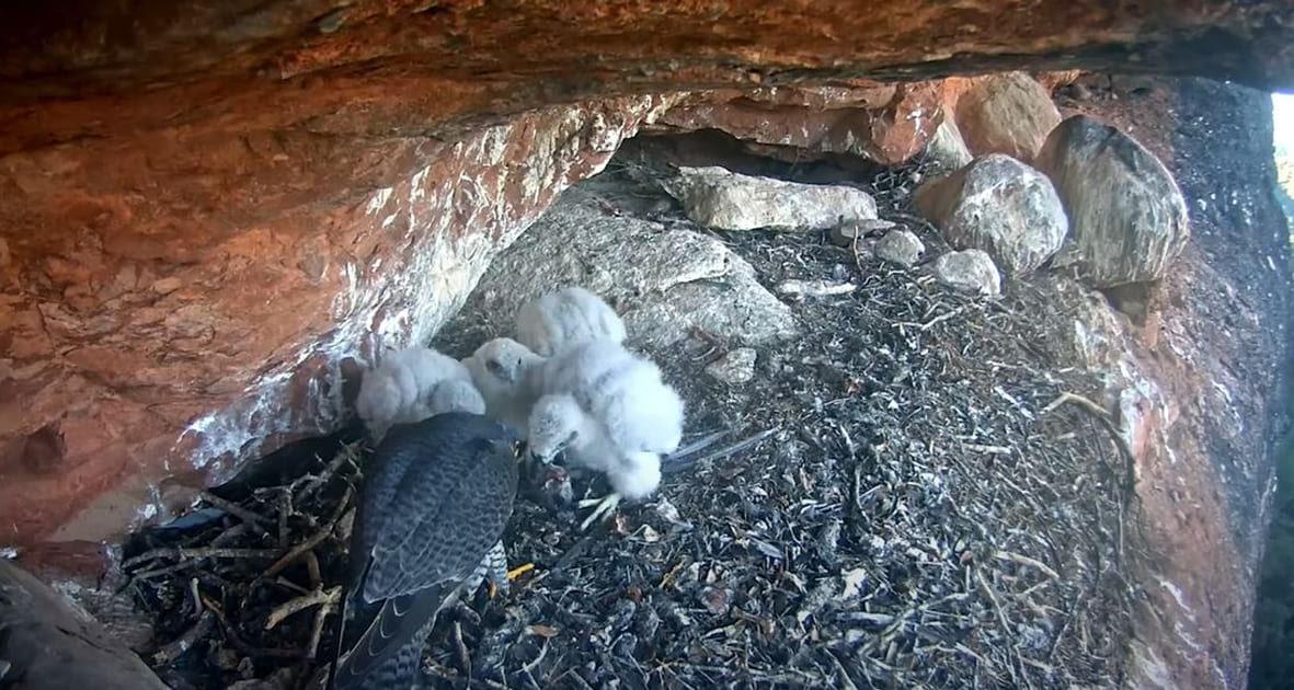 Nidificació del falcó pelegrí al Parc Natural de Sant Llorenç del Munt i l'Obac Foto: XPN / Diputació de Barcelona