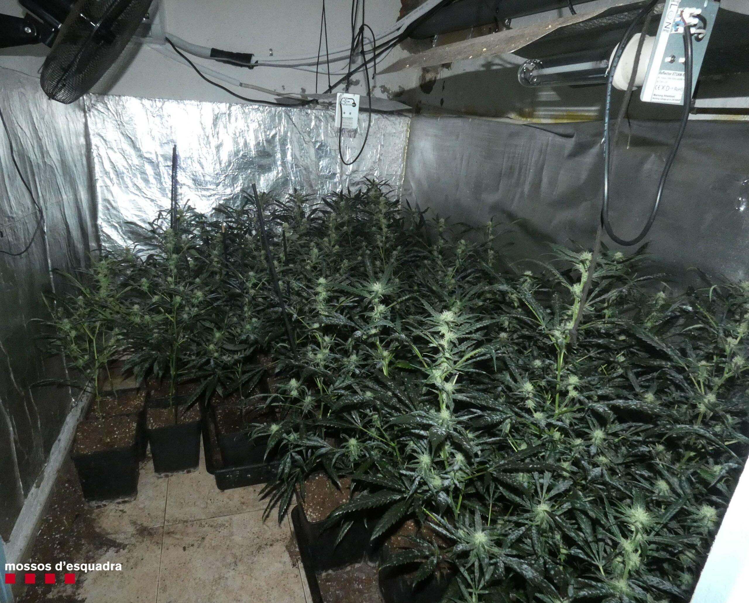 Plantació de marihuana localitzada pels Mossos   Mossos