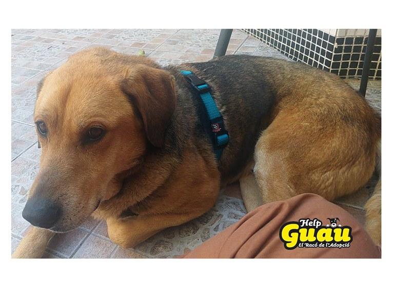 Telson, el darrer gos adoptat procedent de Viladecavalls | Help Guau