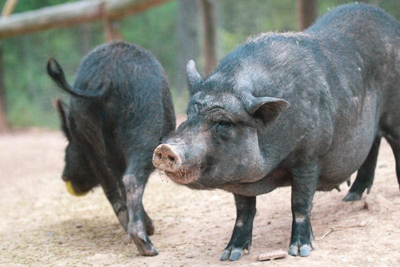 Els porcs abandonats a Terrassa ja son al Refugi el Cau del Bosc   Cedida