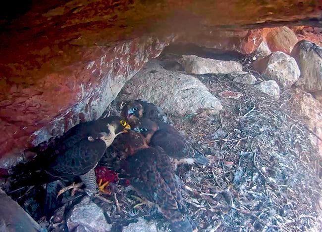 Els falcons, ja amb el plomatge fosc, rebent aliment d'un progenitor | Miranatura