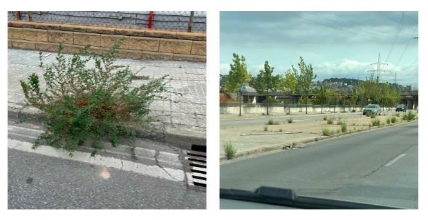 Imatges de males herbes a les voreres de l'avinguda del Vallès | Meritxell Lluís