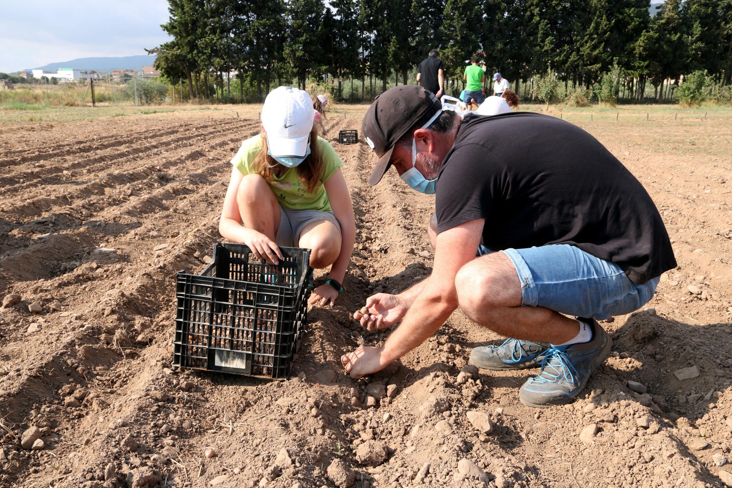 Dues persones plantant safrà en la plantada feta en una finca a Montblanc   ACN