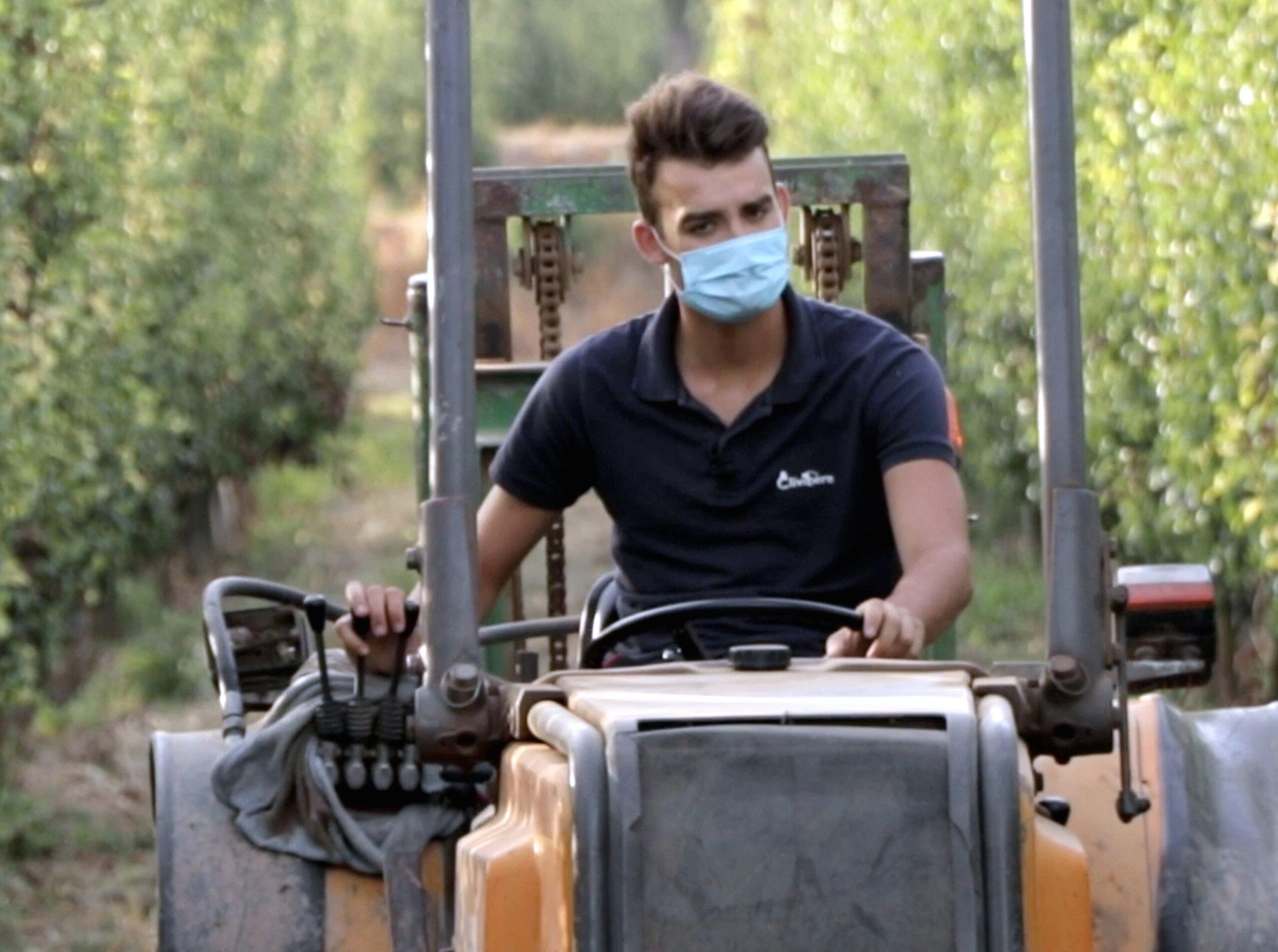 El productor de la DOP Pera de Lleida amb el seu tractor durant la collita de la pera Conference