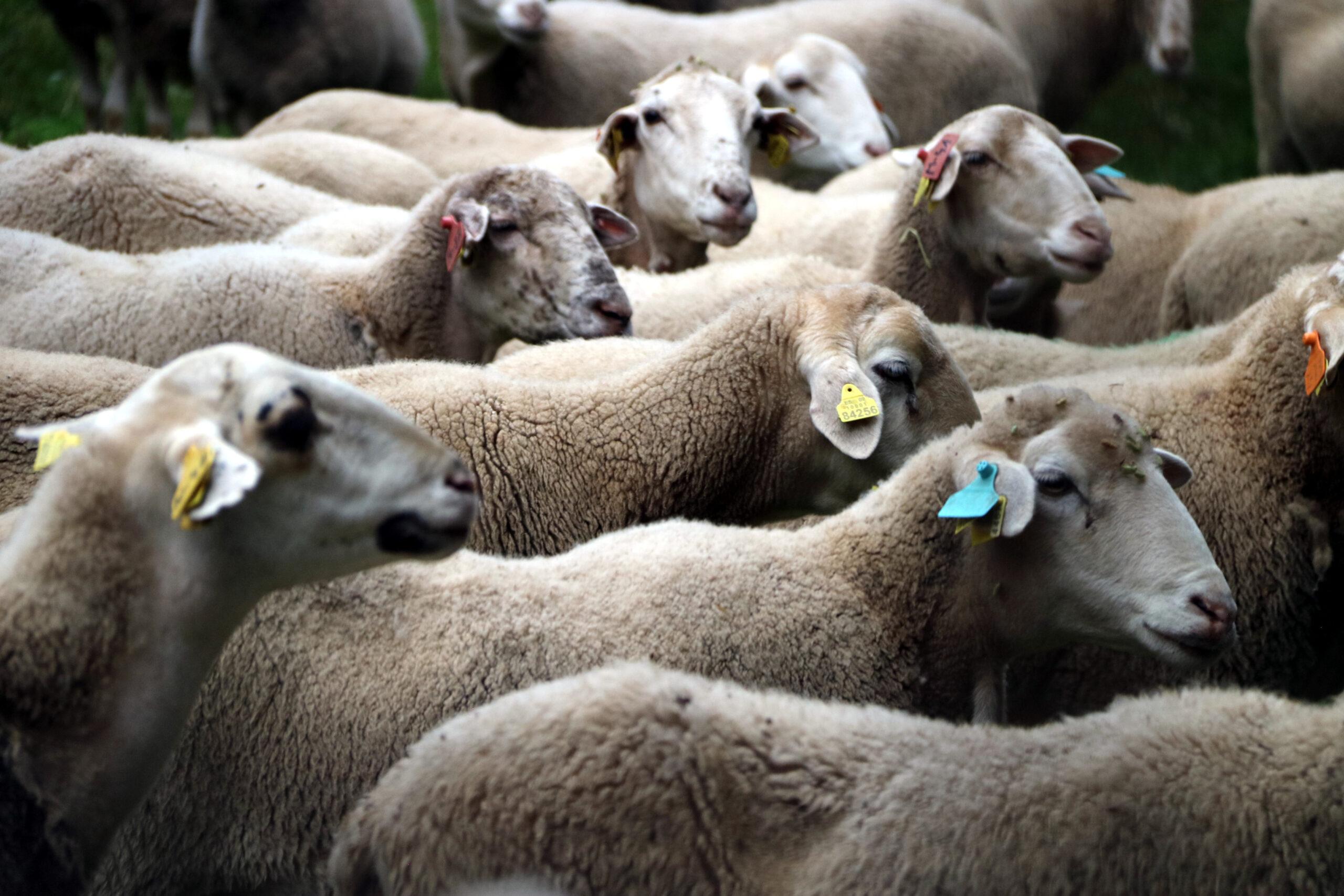 Un ramat d'ovelles de la Masia de Ferreres | ACN