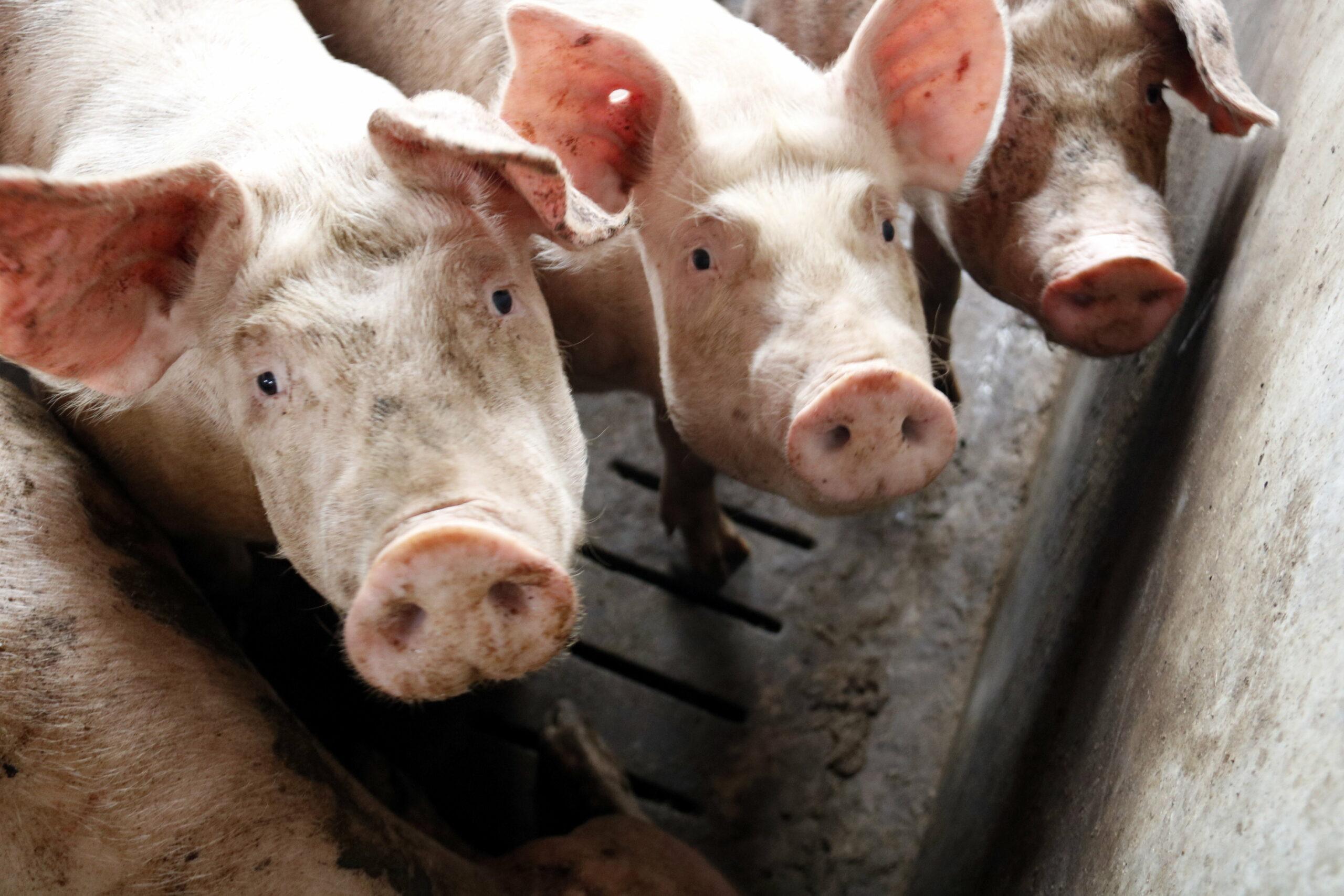 Alguns porcs en una granja d'Alcarràs | ACN