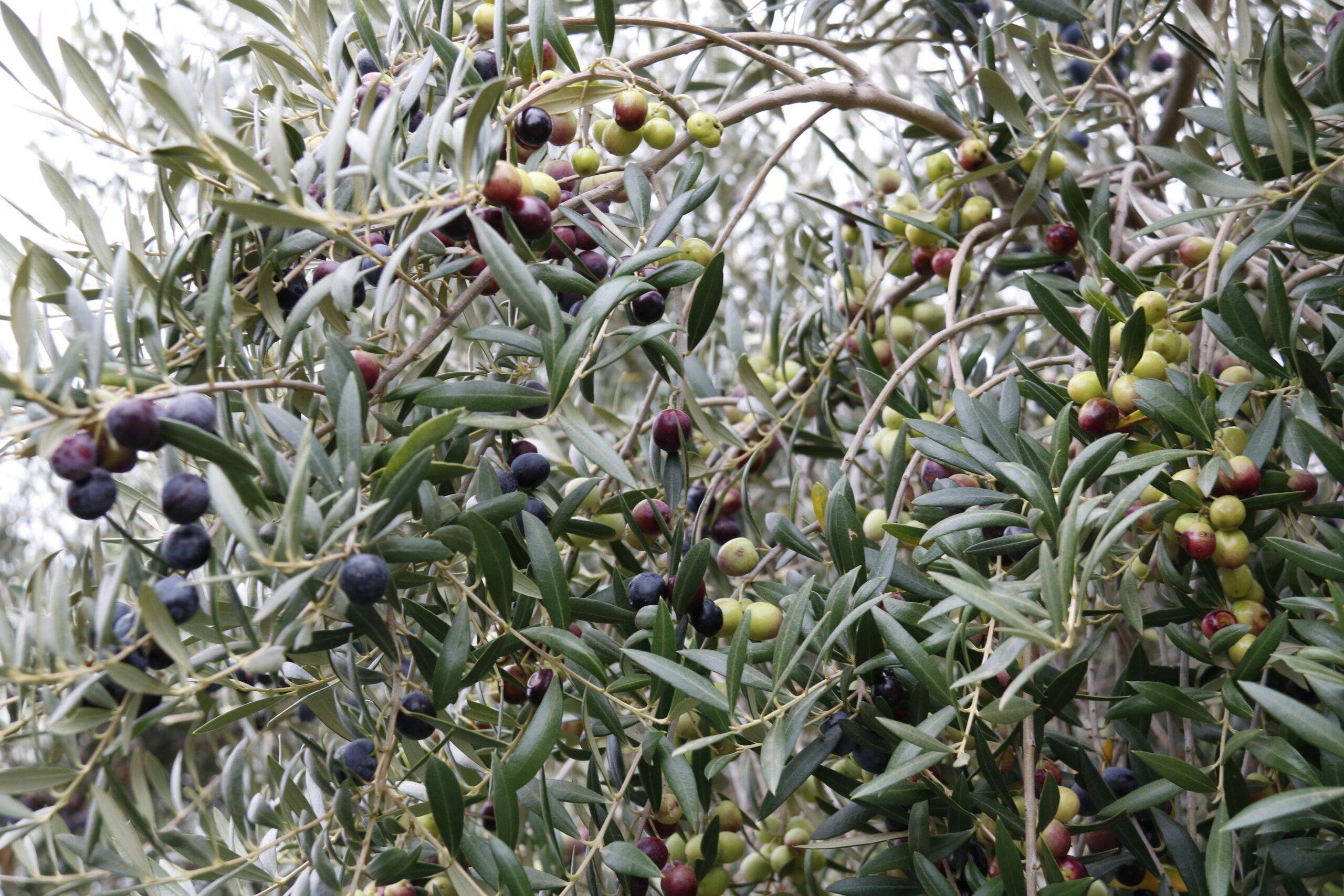 Olives a l'arbre, en una finca a Valls   ACN