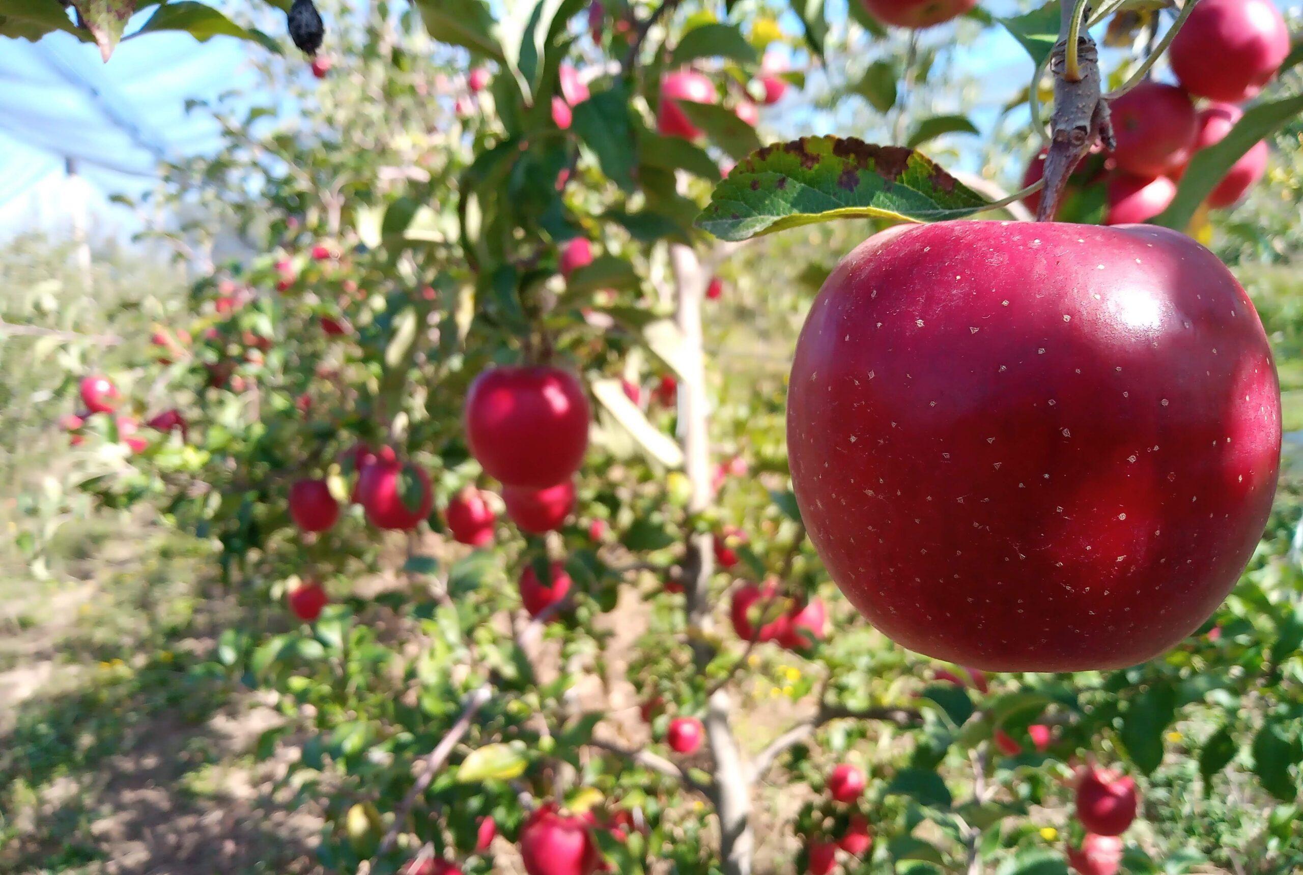 Pomes roges Biolord | Cedida