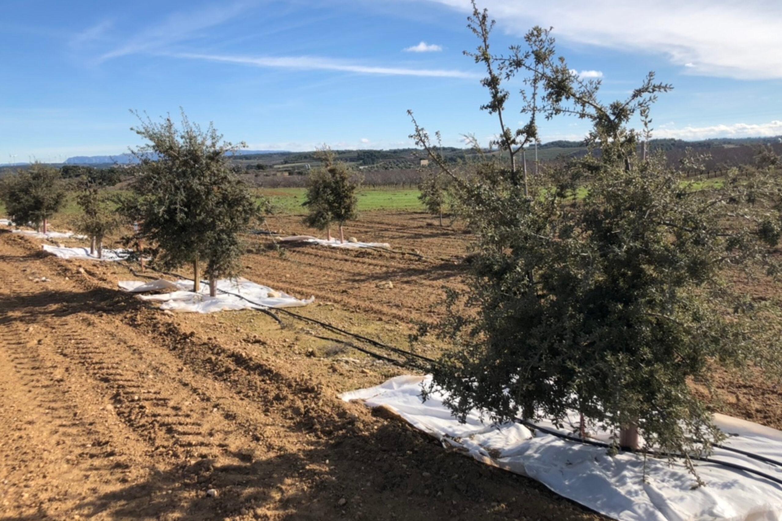 La finca experimental a Maials (Lleida) de cultiu de tòfona negra | ACN