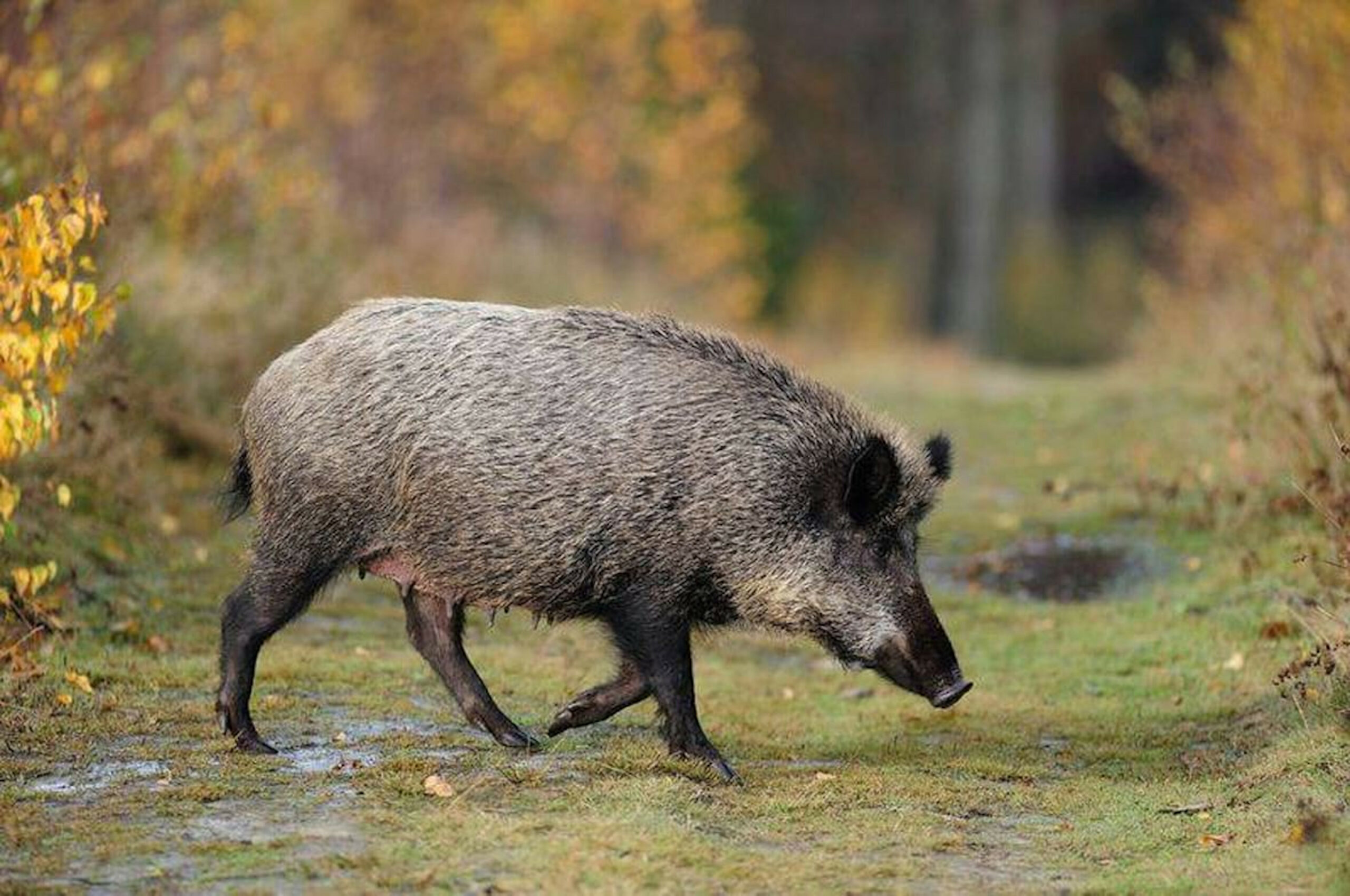 Un porc senglar   ACN