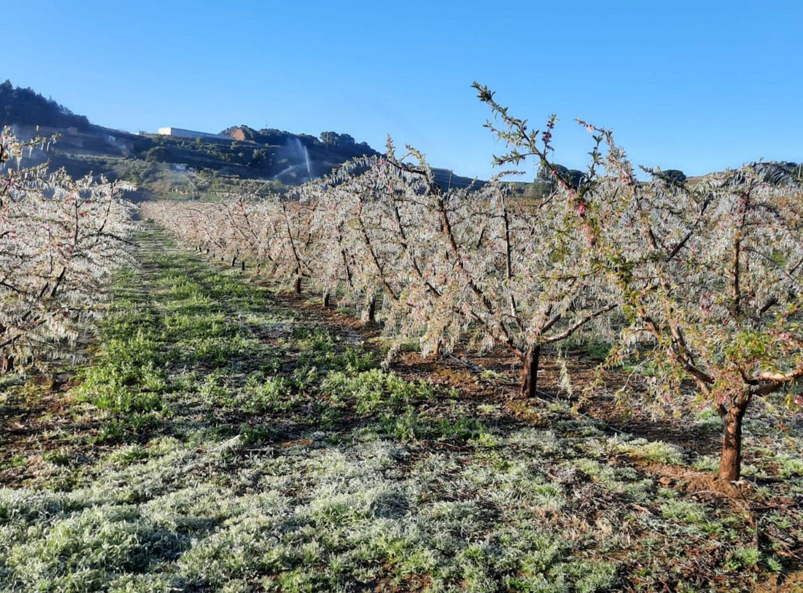 Una explotació de fruita de pinyol d'Almenar coberta amb una làmina d'aigua gelada per evitar que es geli la flor   ACN