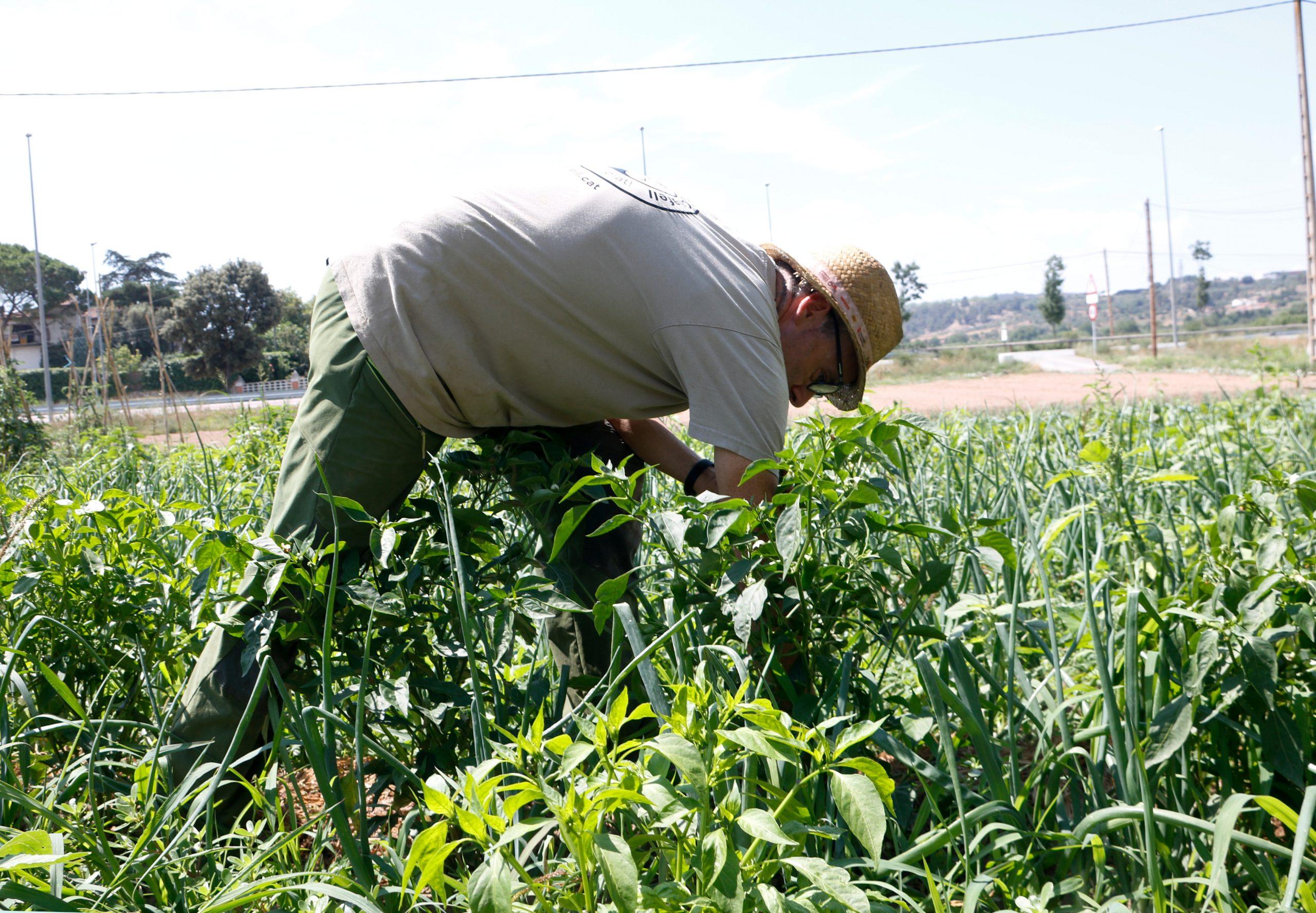 Pere Calafell treballant a l'hort de Can Calafell, a Manresa | ACN