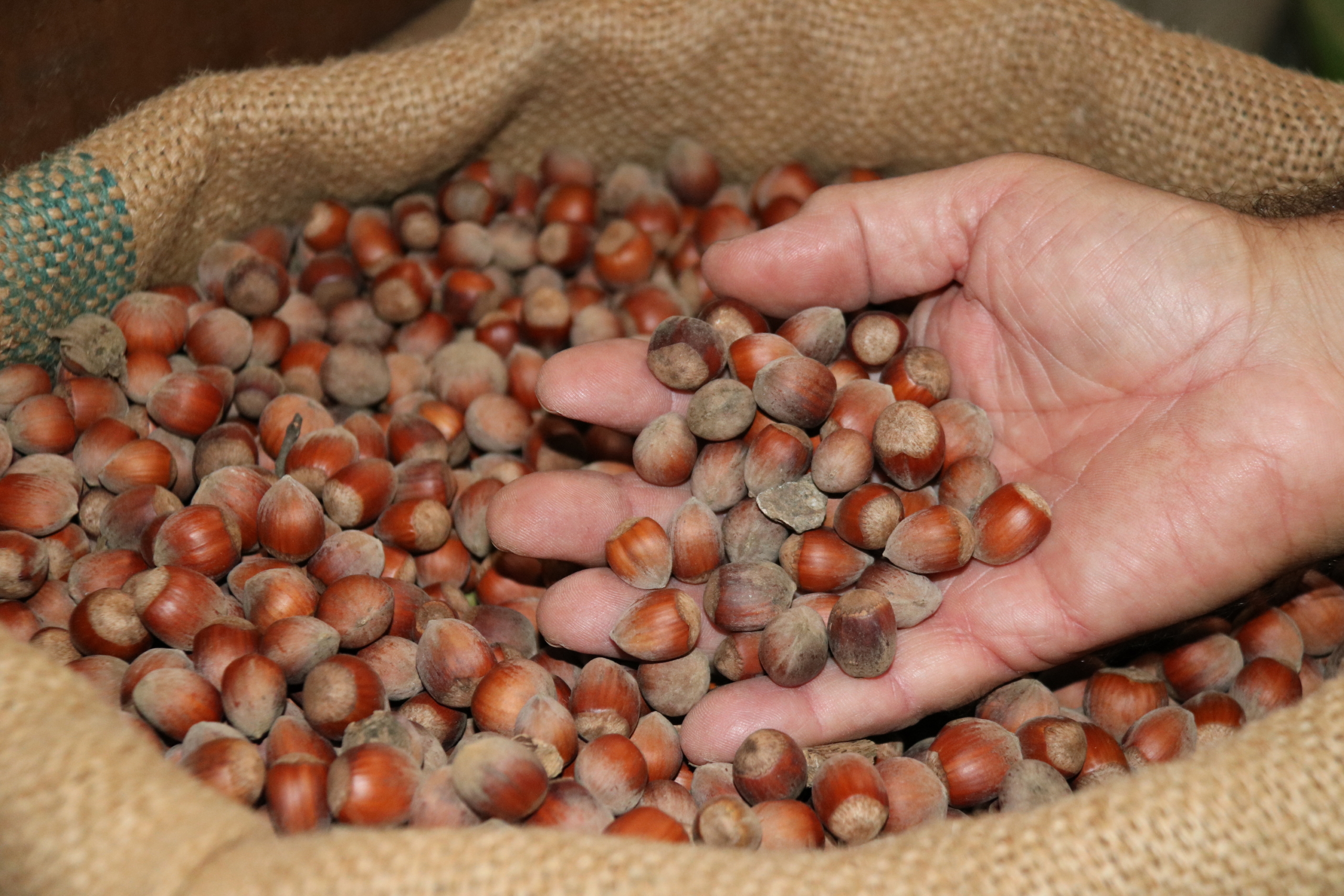 Avellanes de la varietat 'negreta', dins d'un sac, al terme del Morell (Tarragonès) | ACN