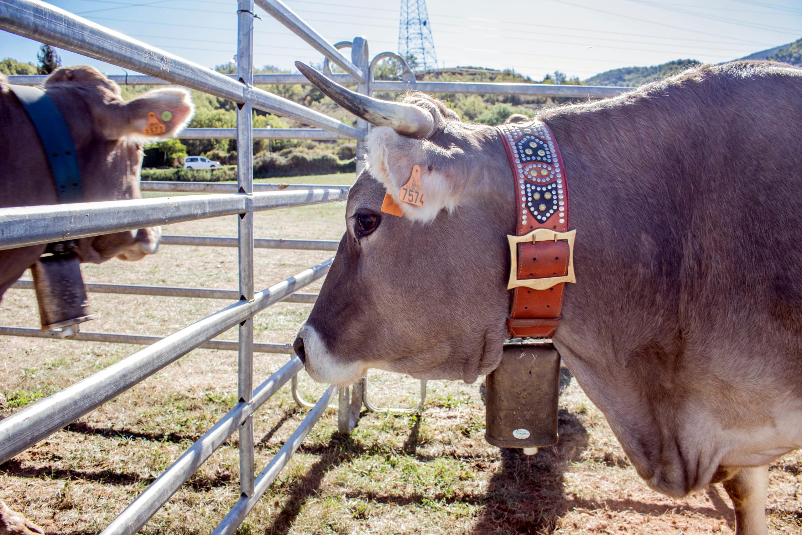 El cap d'una vaca que va participar en una Fira ramadera   ACN