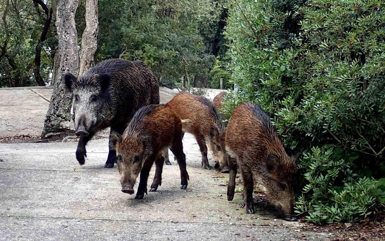 Porcs senglars