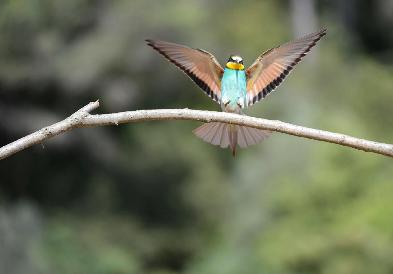 Ocell recuperat a Raventós i Blanc