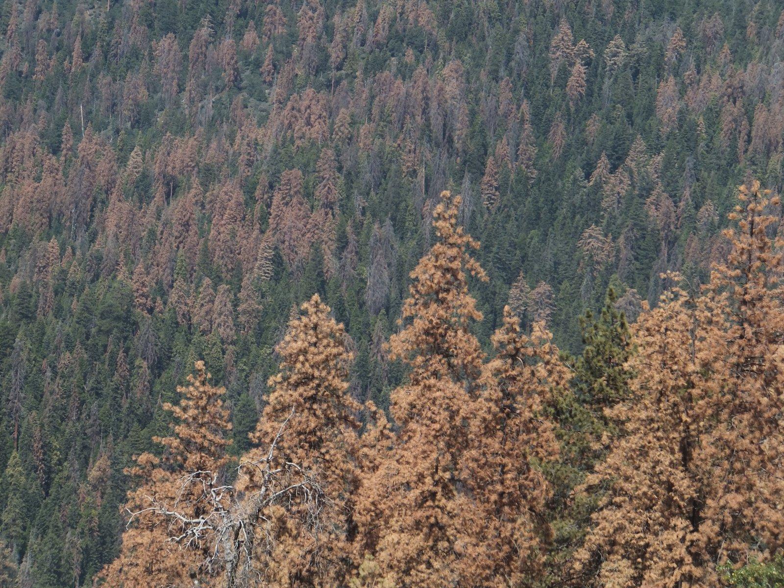 Bosc de pins i avets morts per sequera al Parc Nacional Sequoia, a Califòrnia