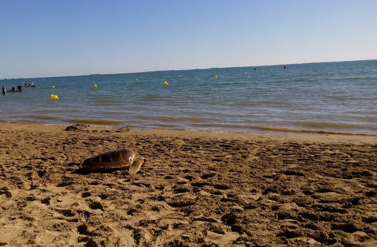 Tortugues babaues