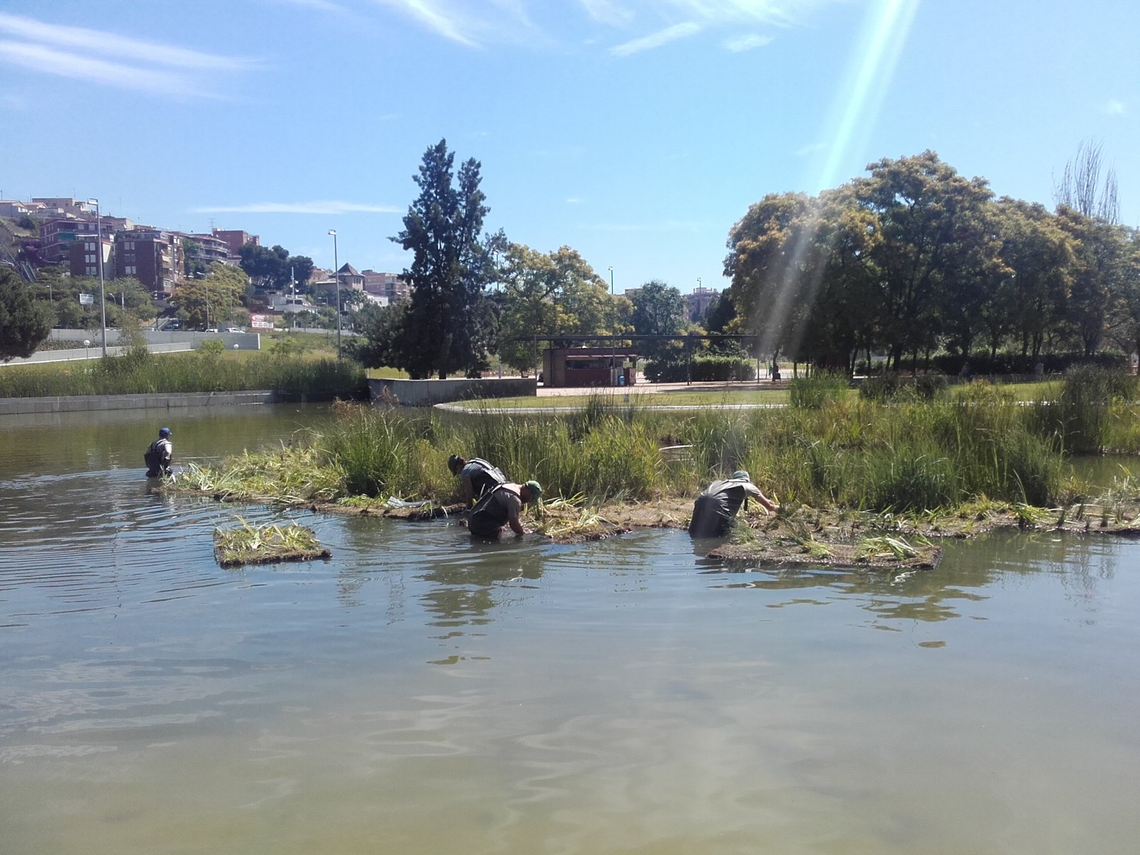 Col·locació de vegetació aquàtica al parc de Can Zam, a Santa Coloma de Gramenet