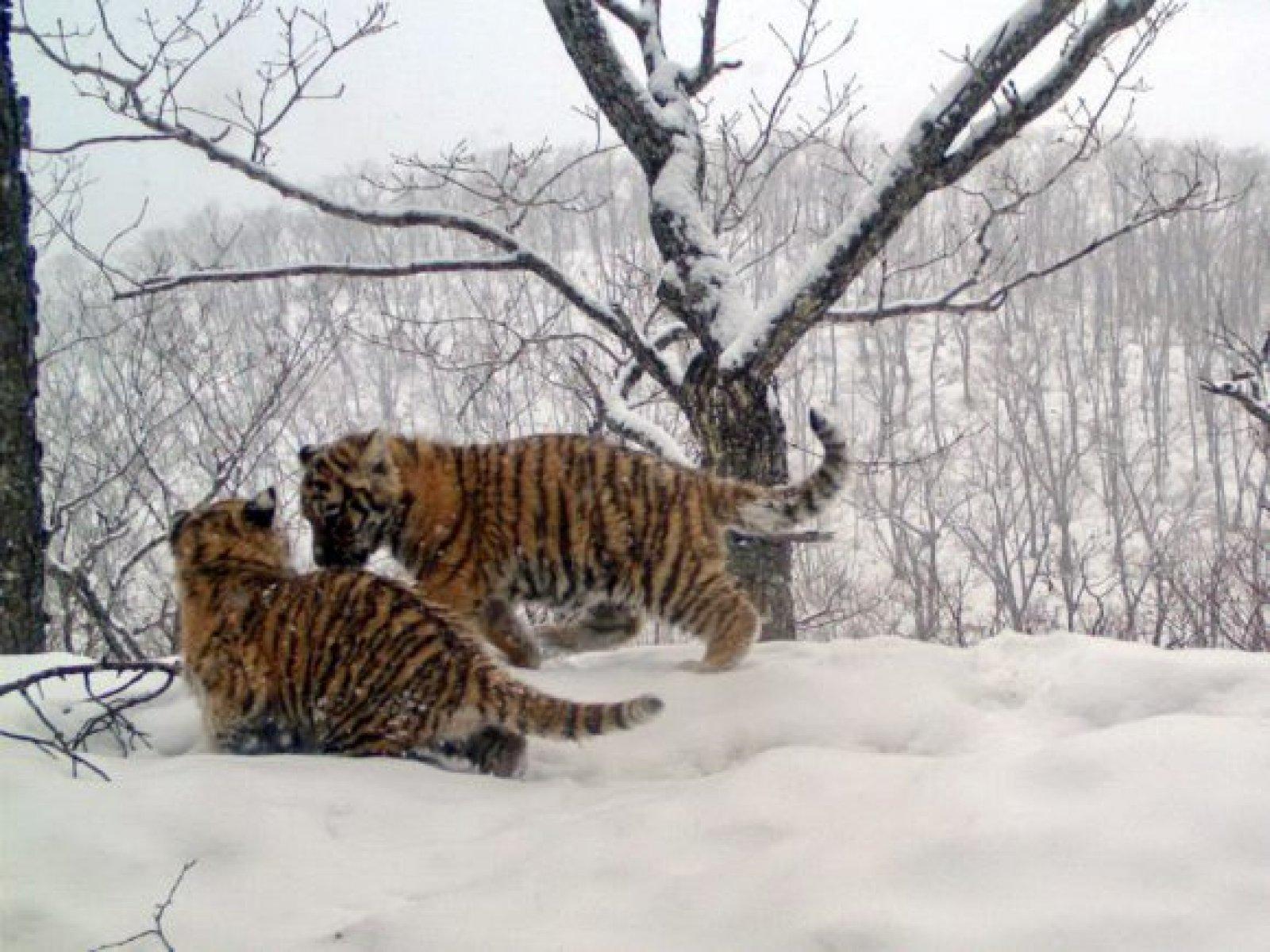 Cadells de tigre siberià a l'est de Rússia