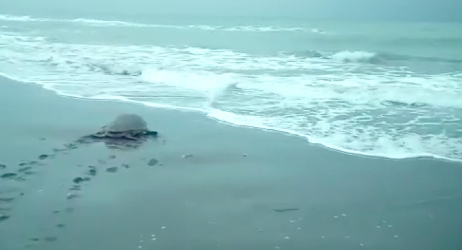 Alliberament de tortugues babaues al Trabucador del Delta de l'Ebre
