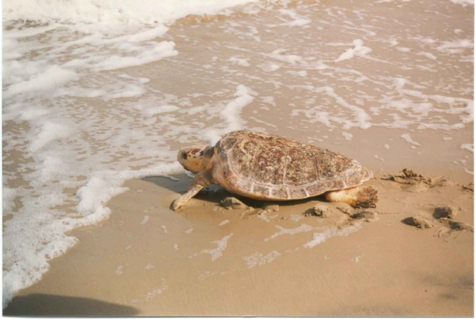 Tortuga babaua entrant al mar