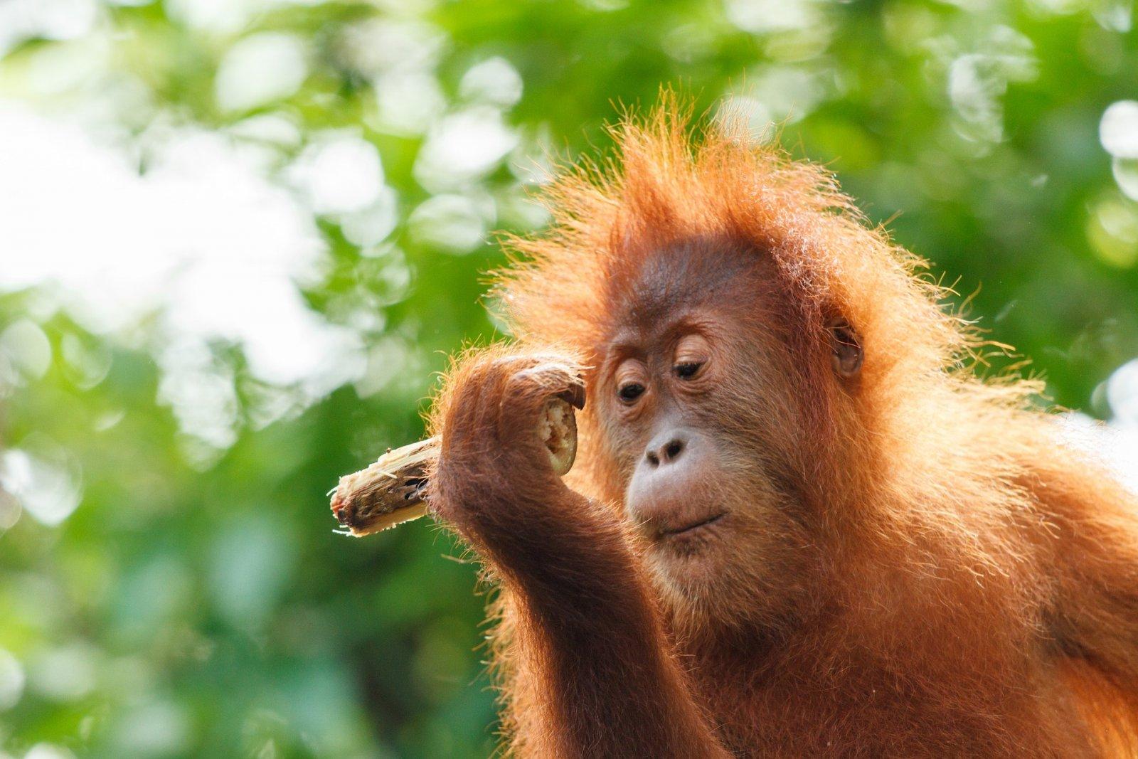 Una cria d'orangutan de Borneo