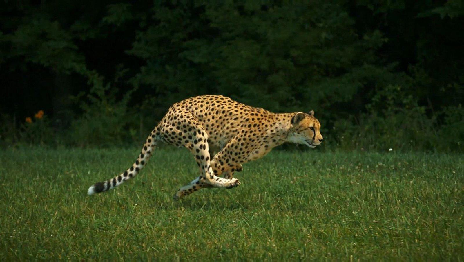 Guepard caçant