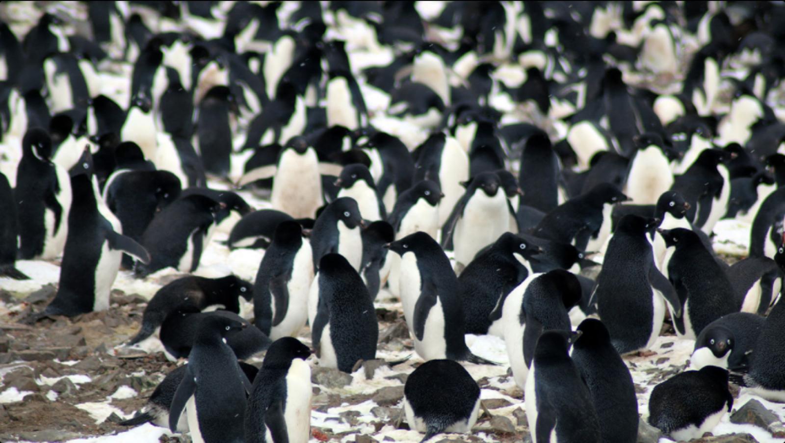 Pingüins d'Adèlia a les illes Danger
