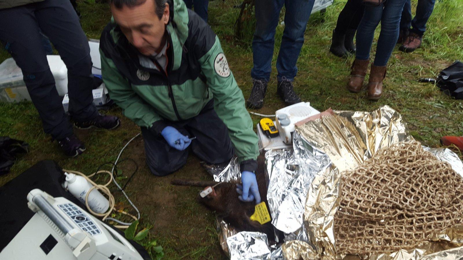 Un dels tècnics realitzant proves a un senglar
