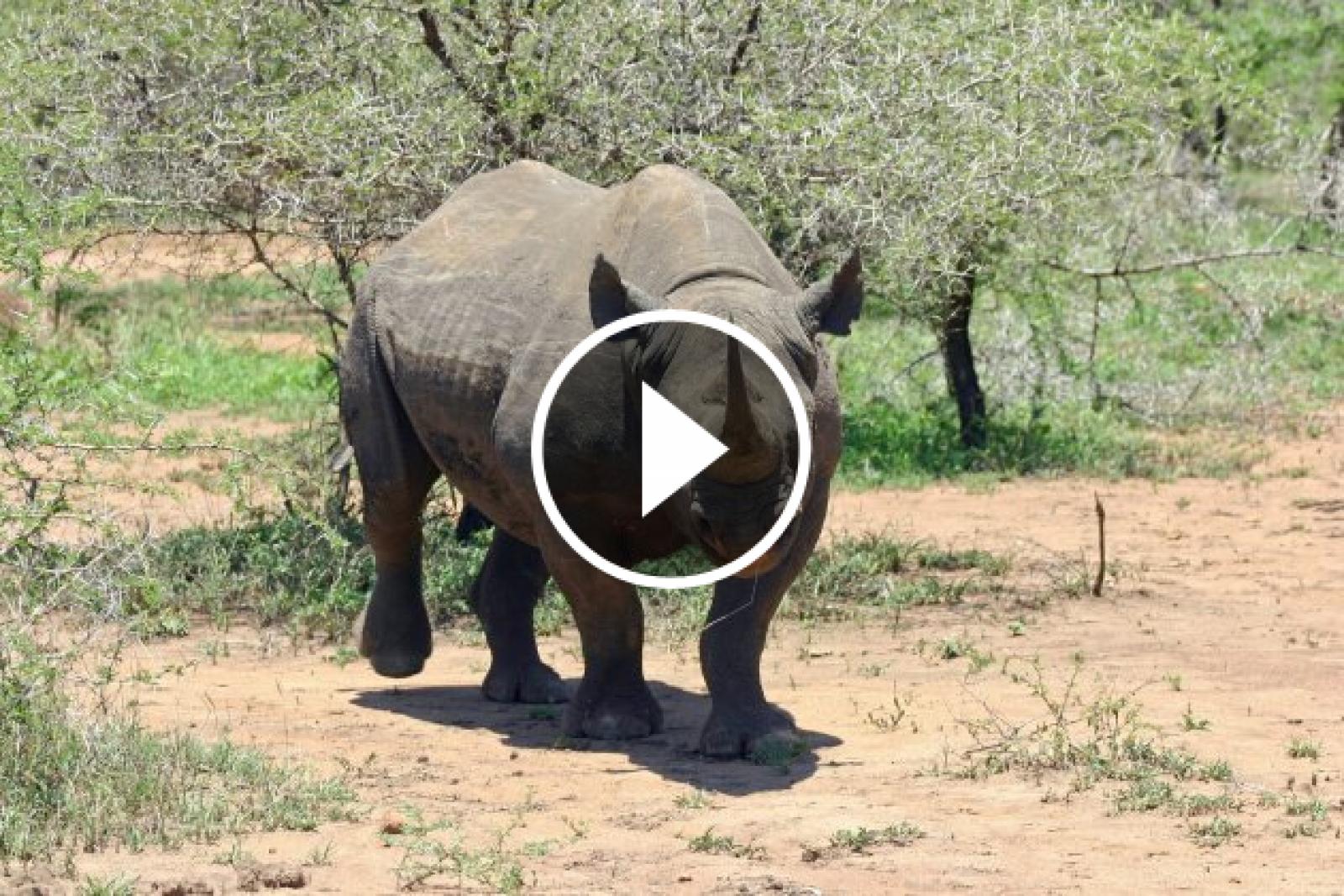 Rinoceront negre