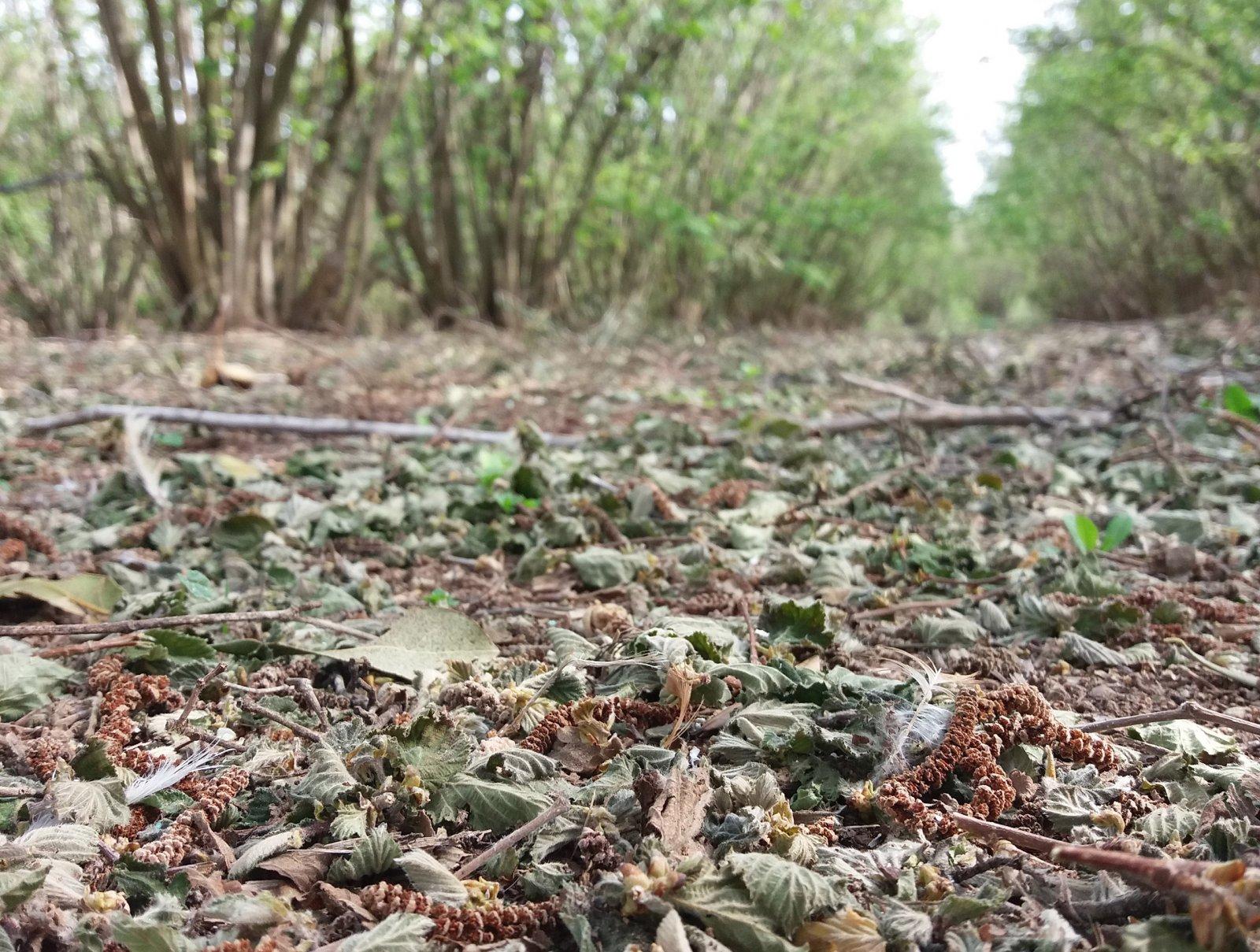 La ventada del 31 de març ha fet estralls en el cultiu de l'avellana
