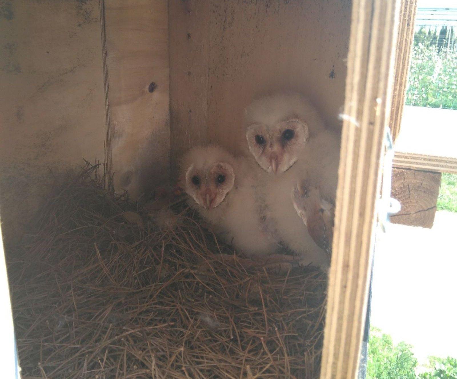 Els pollets d'òliba alliberats a l'Empordà