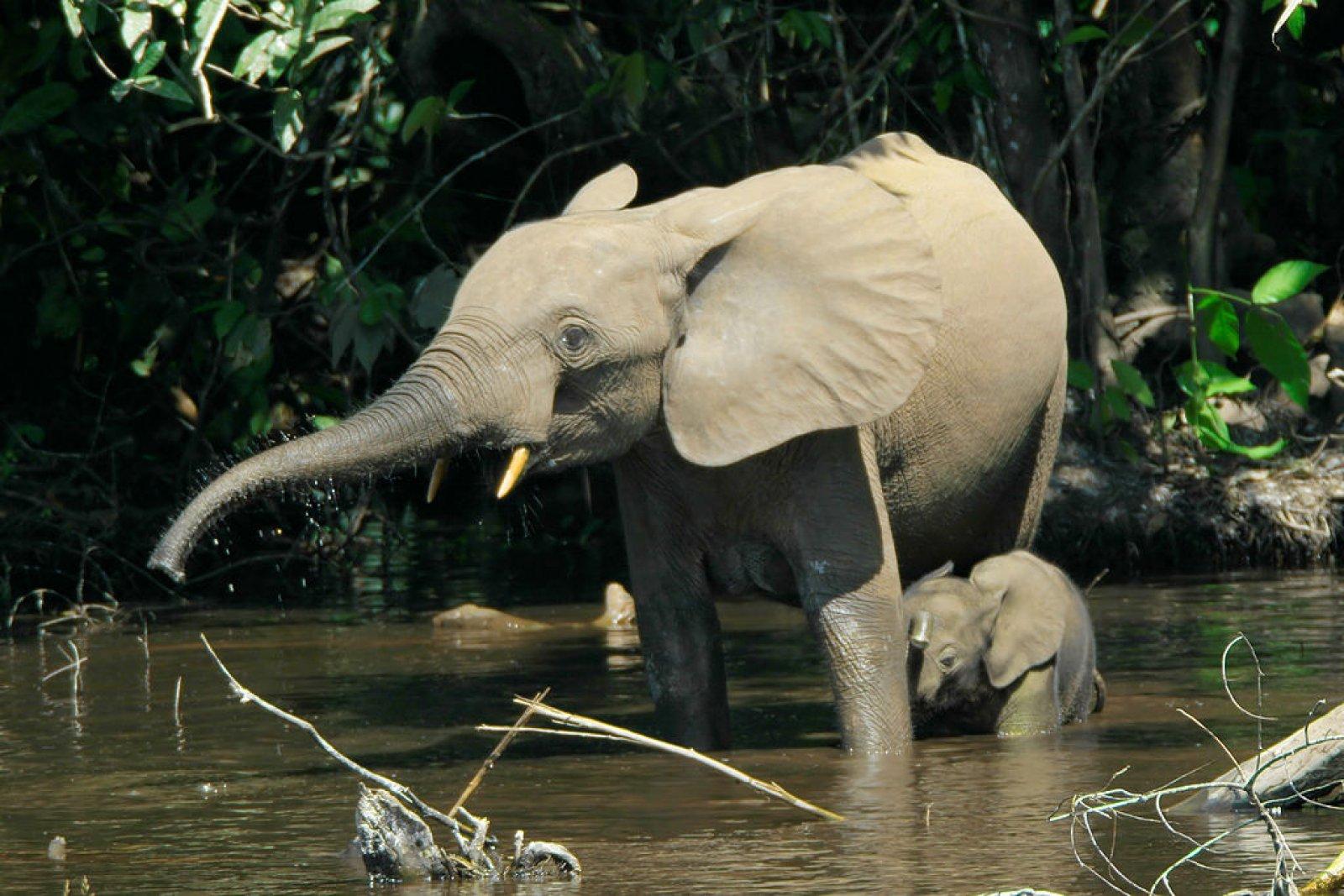 Femella d'elefant africà de bosc amb una cria
