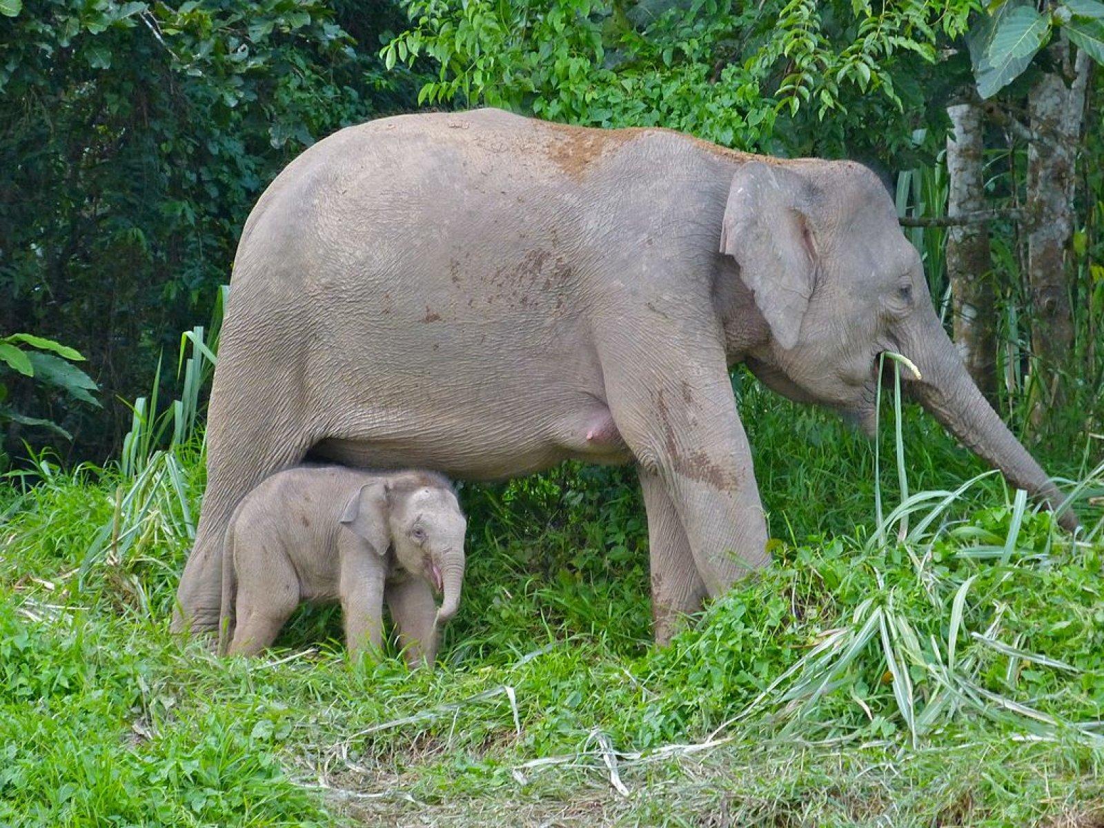 Una femella d'elefant pigmeu de Borneo amb la seva cria