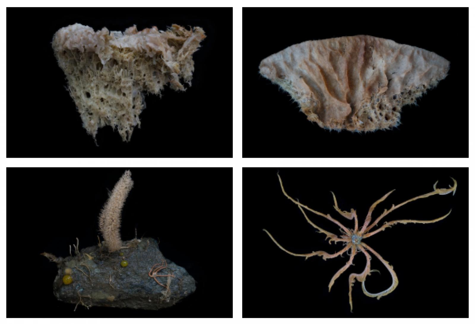 Algunes de les espècies trobades per Greenpeace al fons de l'Antàrtic