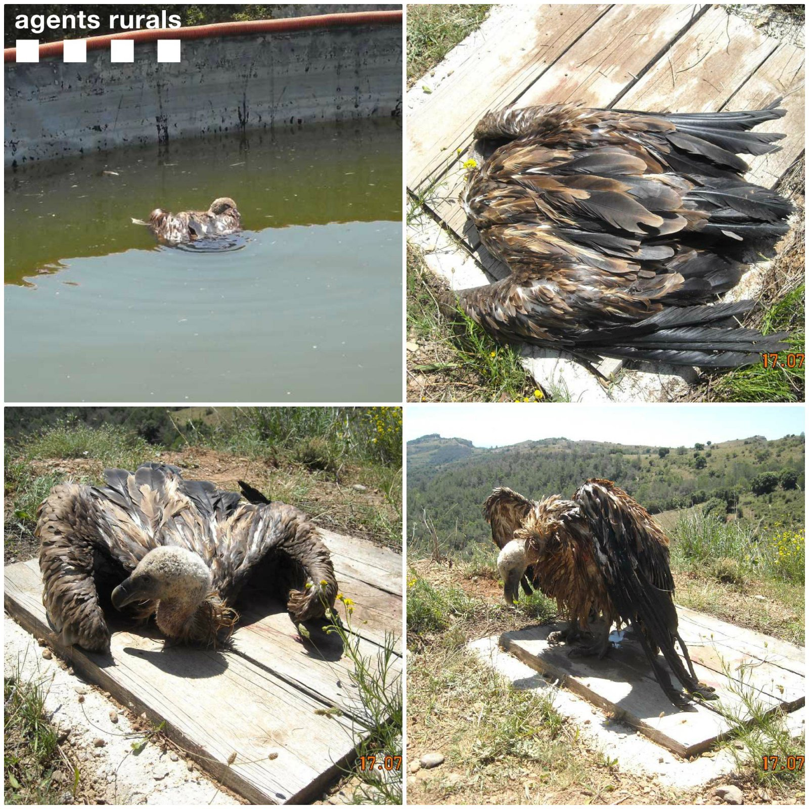 El voltor que ha estat escatat pels Agents Rurals a Odèn (Solsonès)